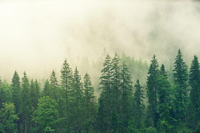 smrkový les s vysokými stromy